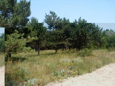Заповедный сосновый лес - 08062819_resize.JPG