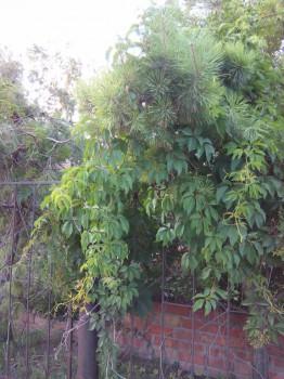 сочетание сосен и винограда - IMG_20150709_194114.jpg