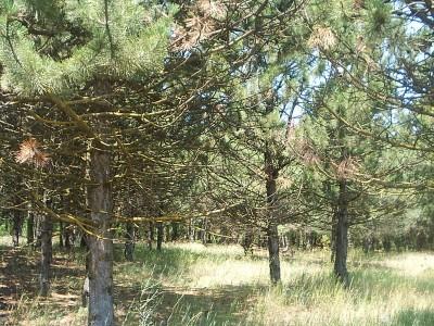 Заповедный сосновый лес - 08062821_resize.JPG